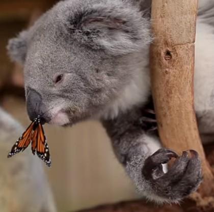 koala_kiss